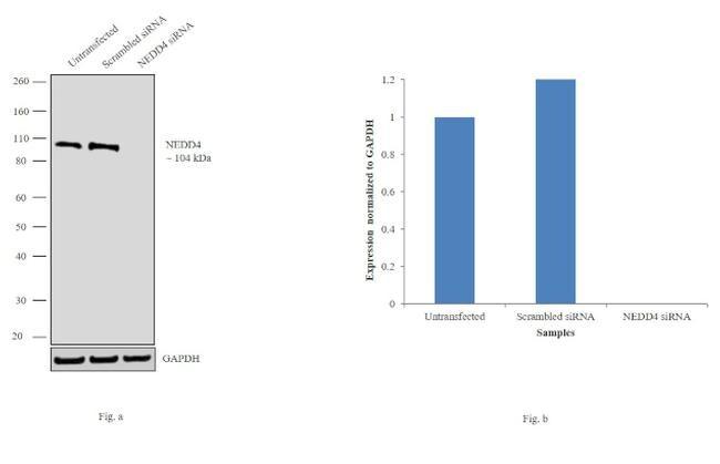 NEDD4 Antibody in Western Blot (WB)