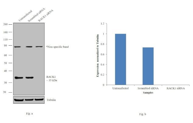 RACK1 Antibody in Western Blot (WB)