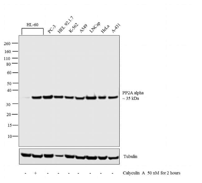 PP2A alpha Antibody in Cell treatment