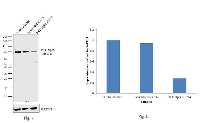 PKC alpha Antibody in Knockdown