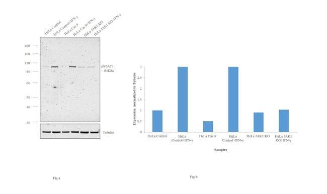 Phospho-STAT1 (Ser727) Antibody in Knockout
