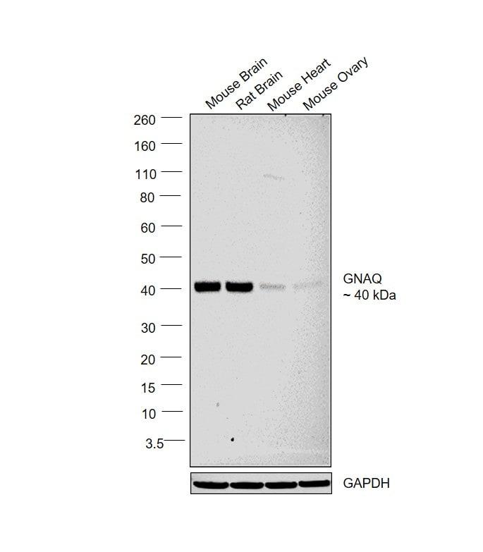 GNAQ Antibody in Relative expression