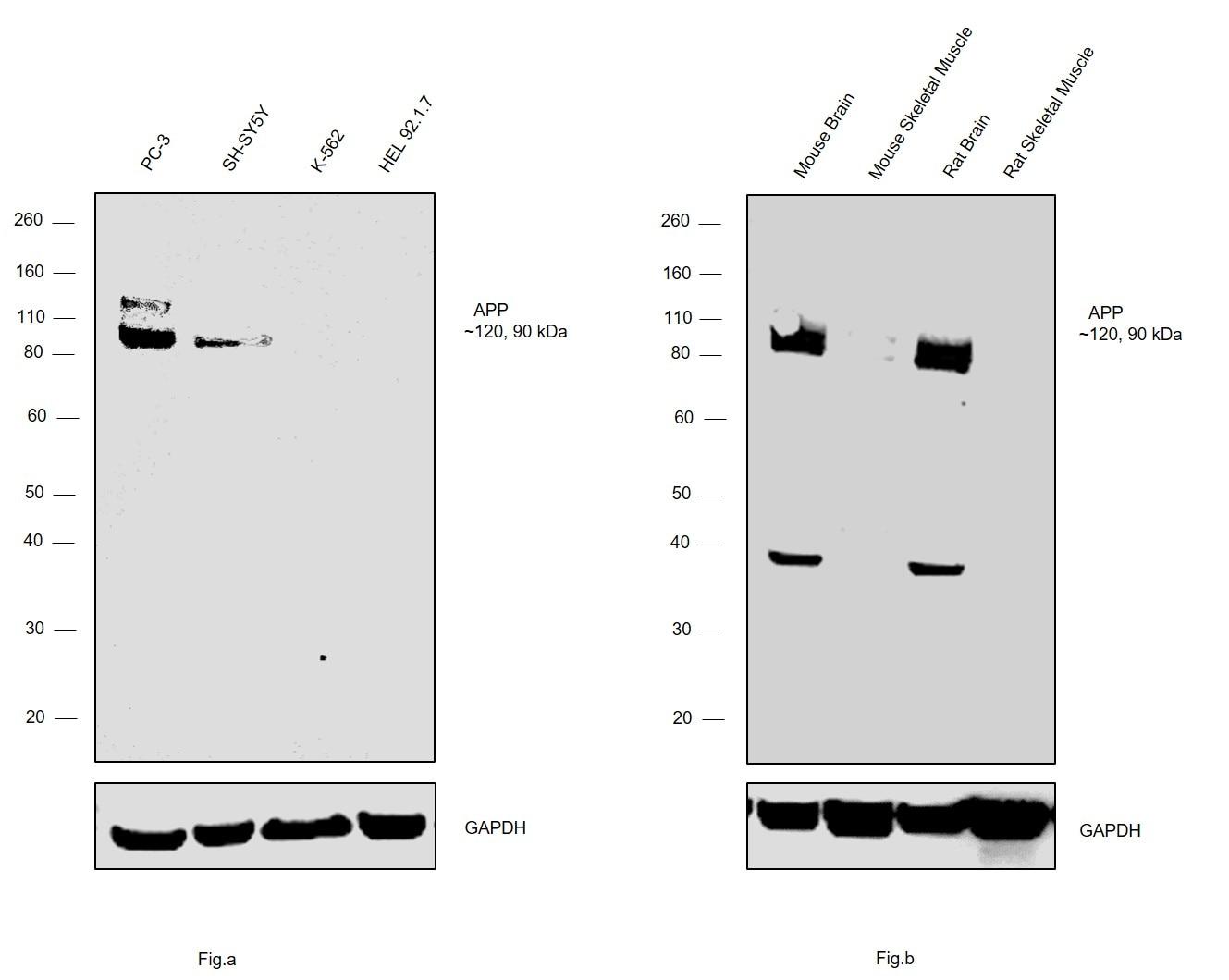 Amyloid Precursor Protein Antibody in Western Blot (WB)