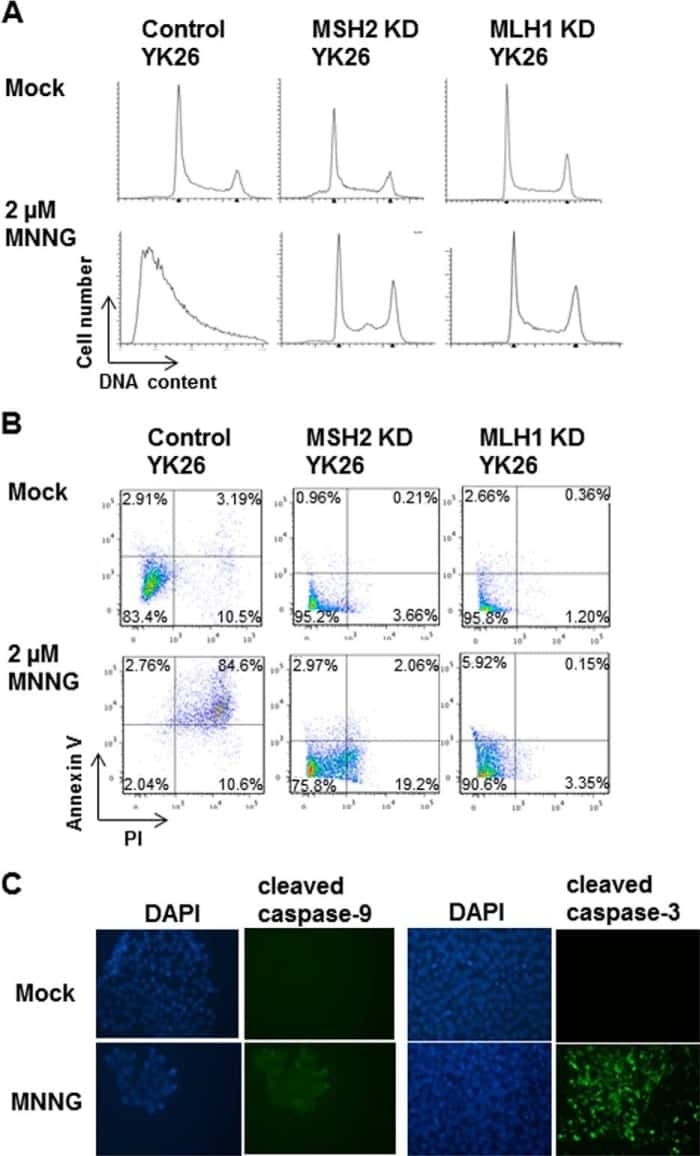 Caspase 9 (Cleaved Asp315) Antibody