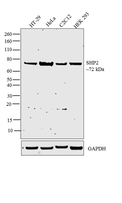 SHP2 Antibody in Western Blot (WB)