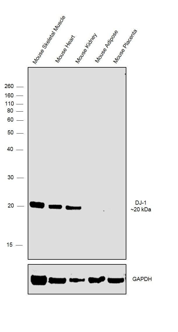 DJ-1 Antibody in Relative expression