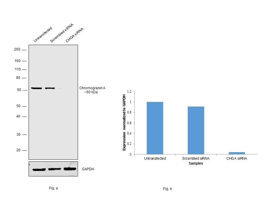 Chromogranin A Precursor Antibody in KnockDown