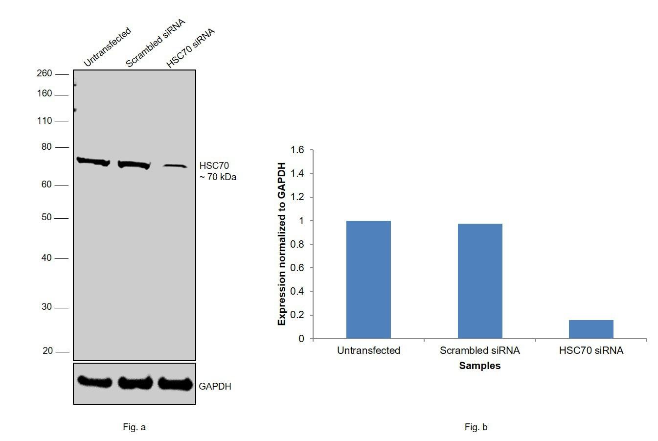 HSC70 Antibody in Knockdown