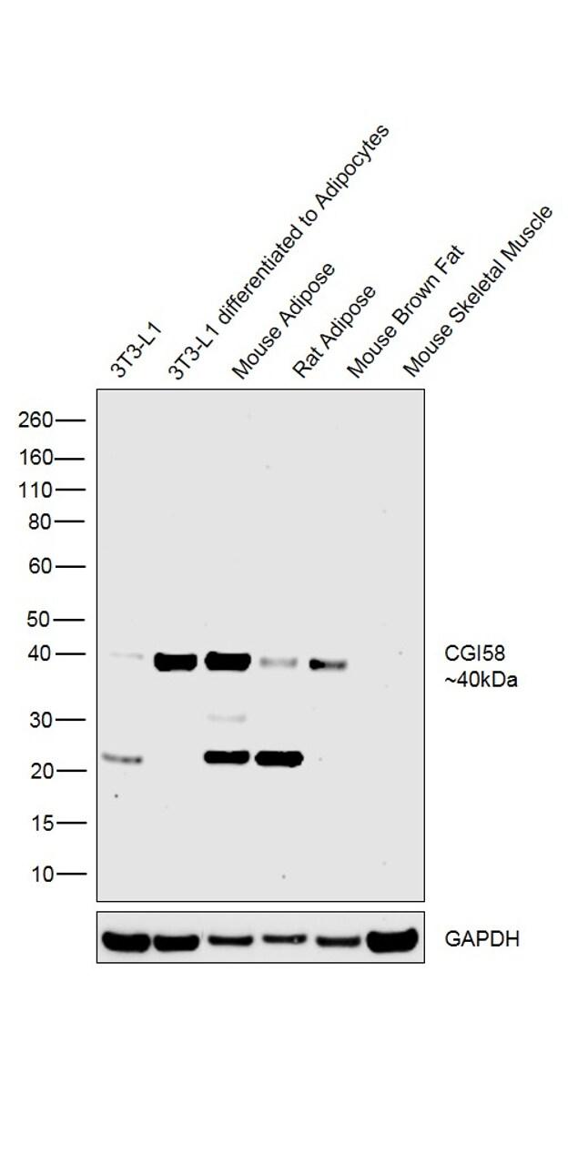 CGI58 Antibody in Relative expression