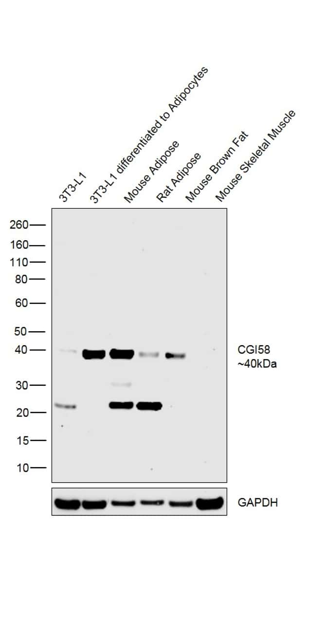 CGI58 Antibody in Cell treatment