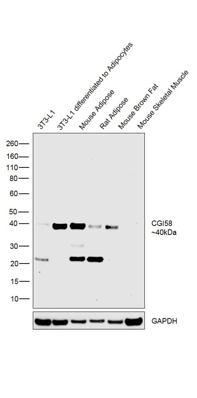 CGI58 Antibody in Western Blot (WB)