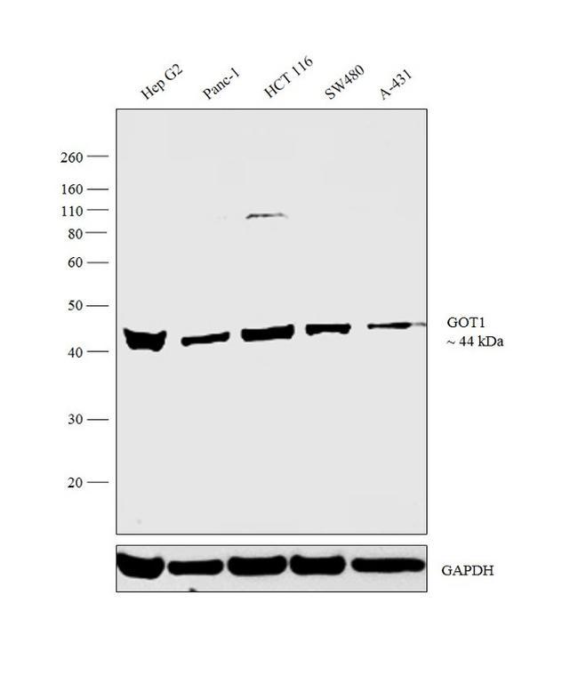 GOT1 Antibody in Relative expression