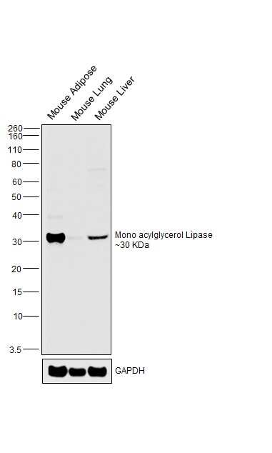 Monoacylglycerol Lipase Antibody in Western Blot (WB)
