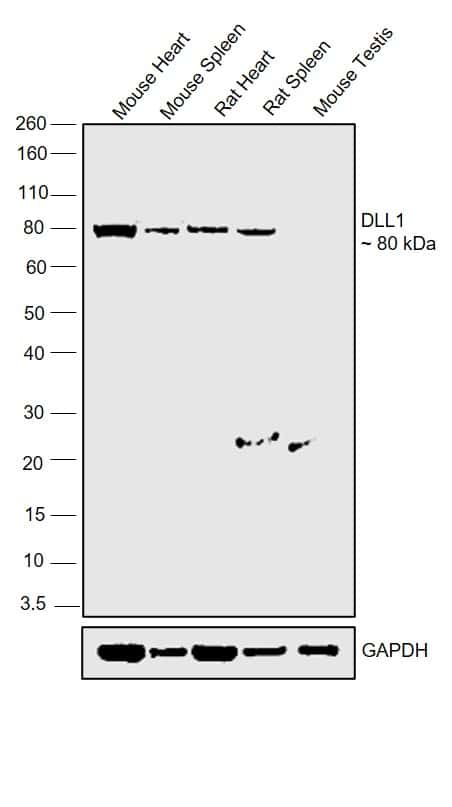 DLL1 Antibody in Relative expression