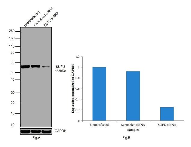 SUFU Antibody in Western Blot (WB)