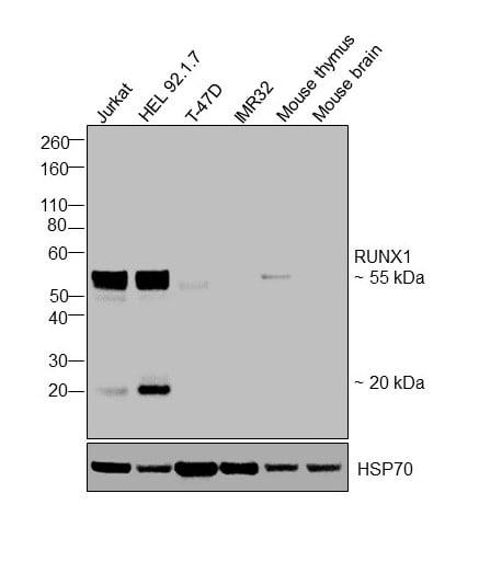 RUNX1 Antibody in Western Blot (WB)