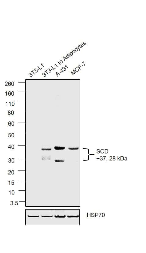 SCD Antibody in Relative expression
