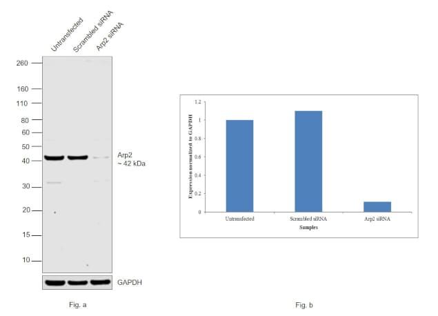 Arp2 Antibody in Knockdown
