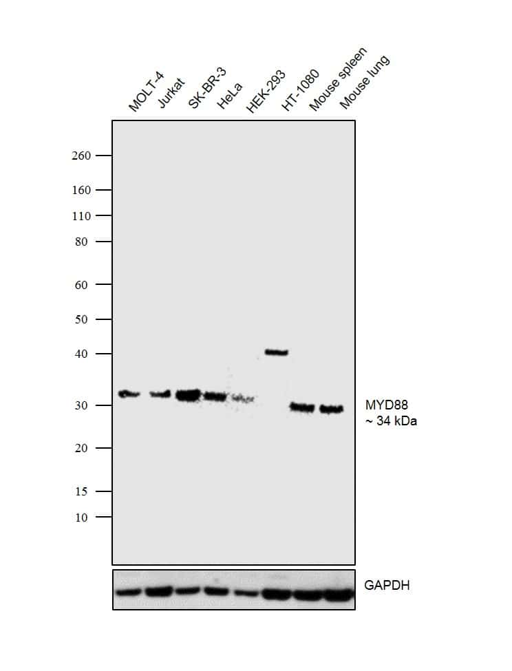 MyD88 Antibody in Relative expression