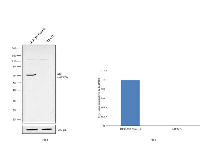 AIF Antibody in Knockout