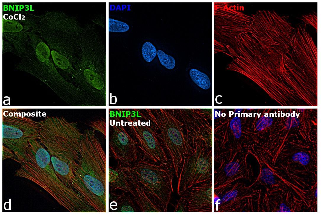 BNIP3L Antibody in Immunofluorescence (IF)