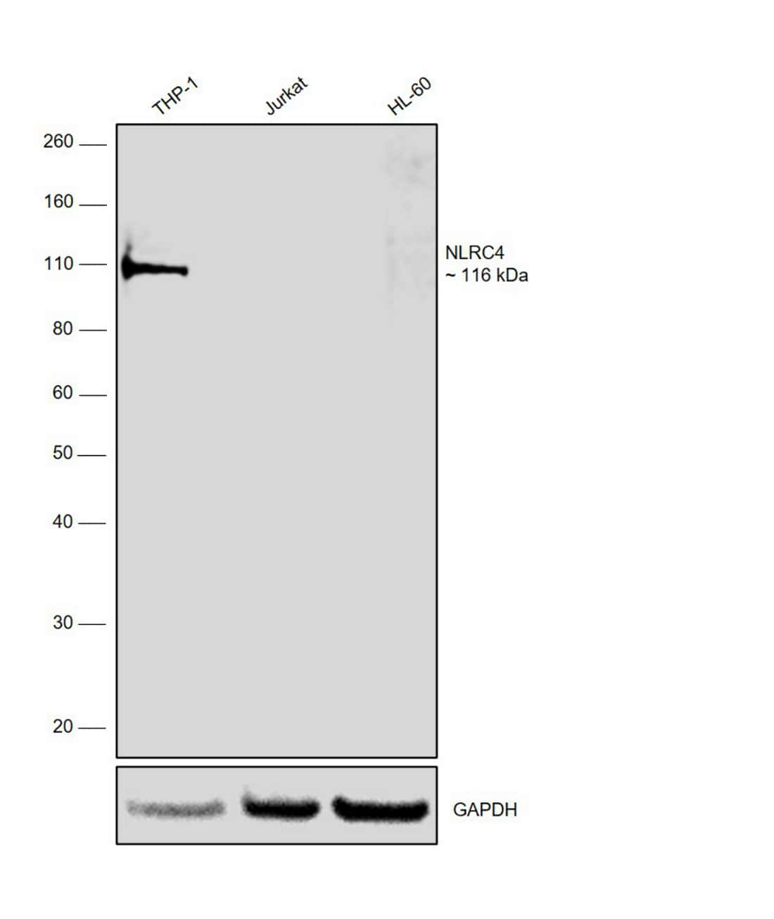 NLRC4 Antibody in Relative expression