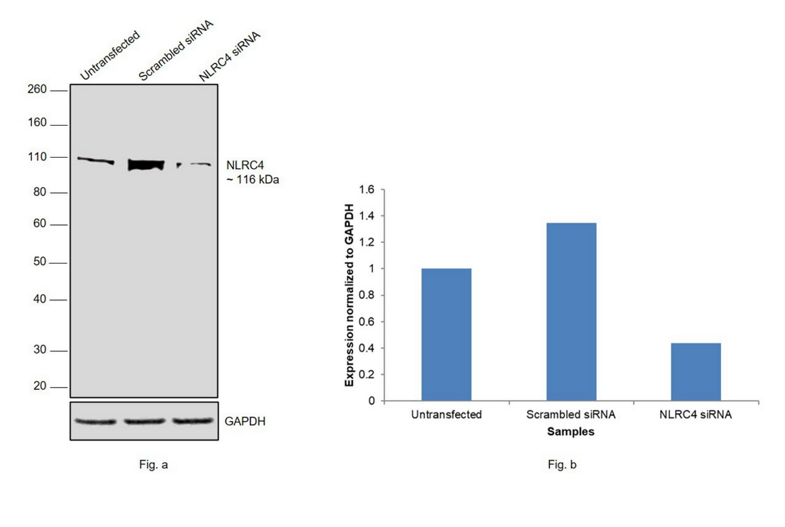 NLRC4 Antibody in Western Blot (WB)