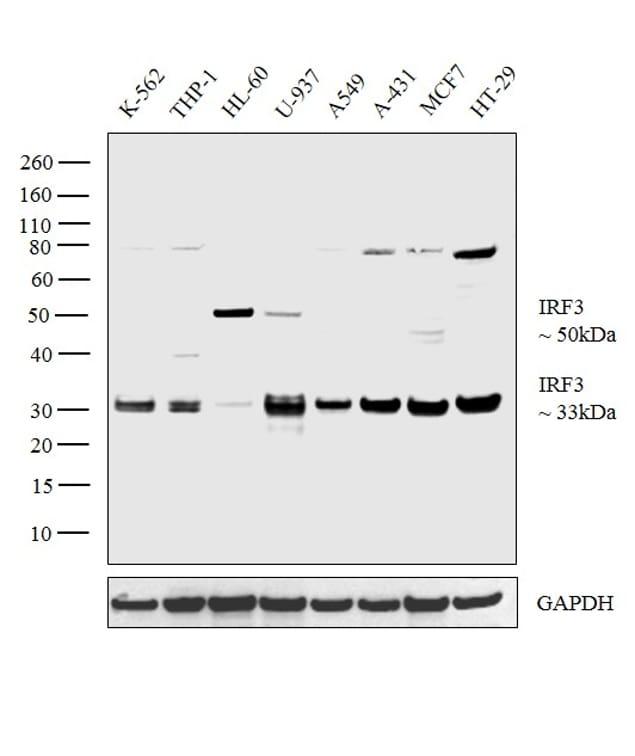 IRF3 Antibody in Western Blot (WB)