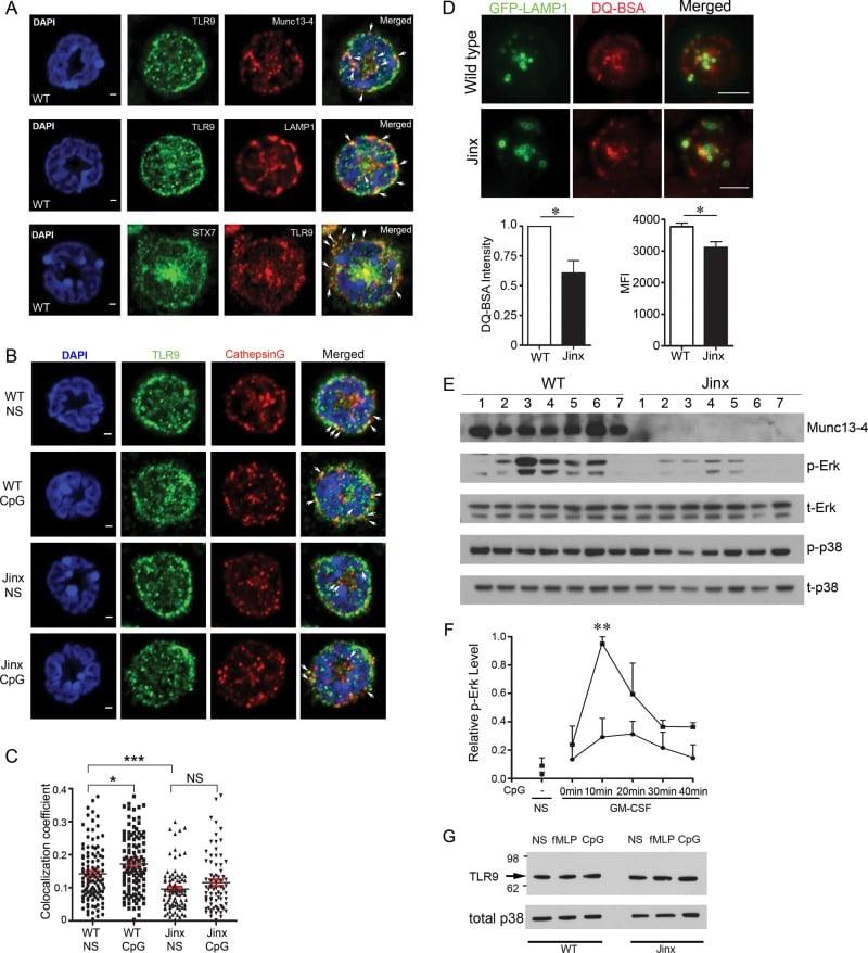 TLR9 Antibody