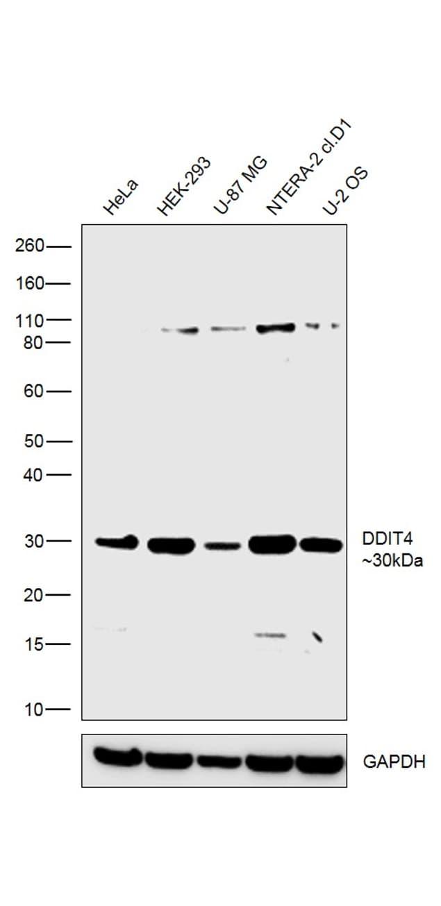 DDIT4 Antibody in Western Blot (WB)