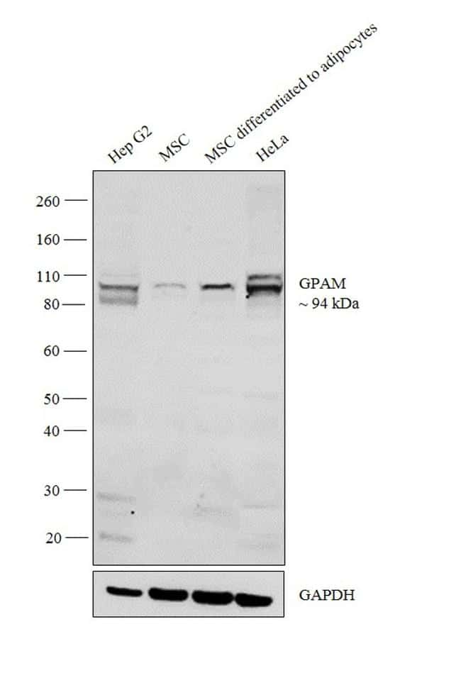 GPAM Antibody in Western Blot (WB)