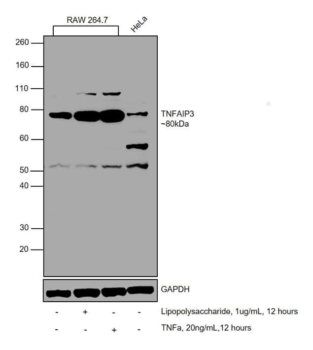 TNFAIP3 Antibody in Cell Treatment