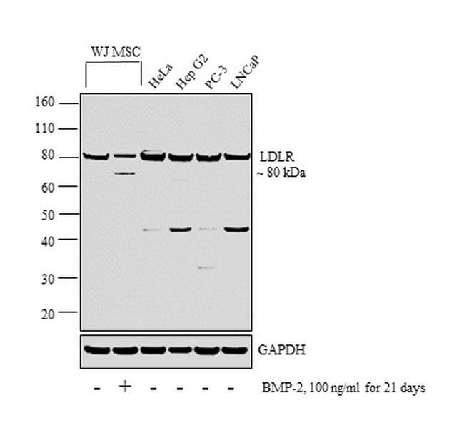 LDLR Antibody in Western Blot (WB)