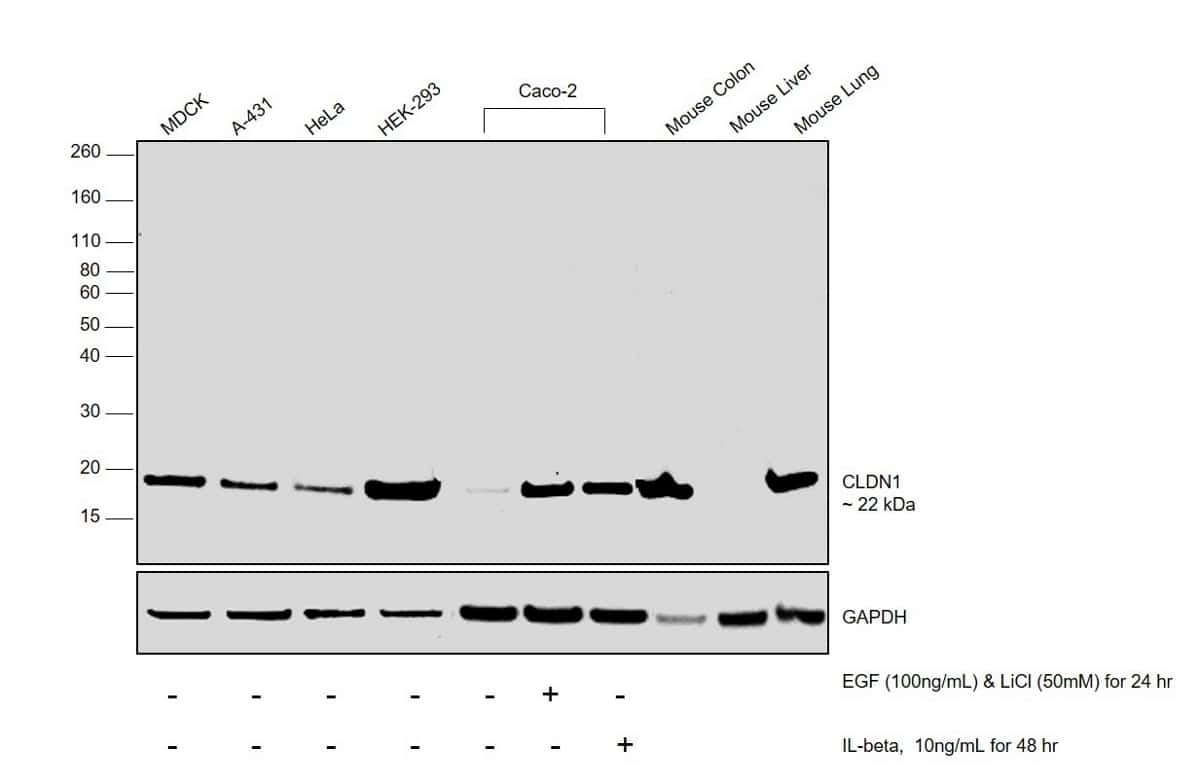 Claudin 1 Antibody in Relative expression