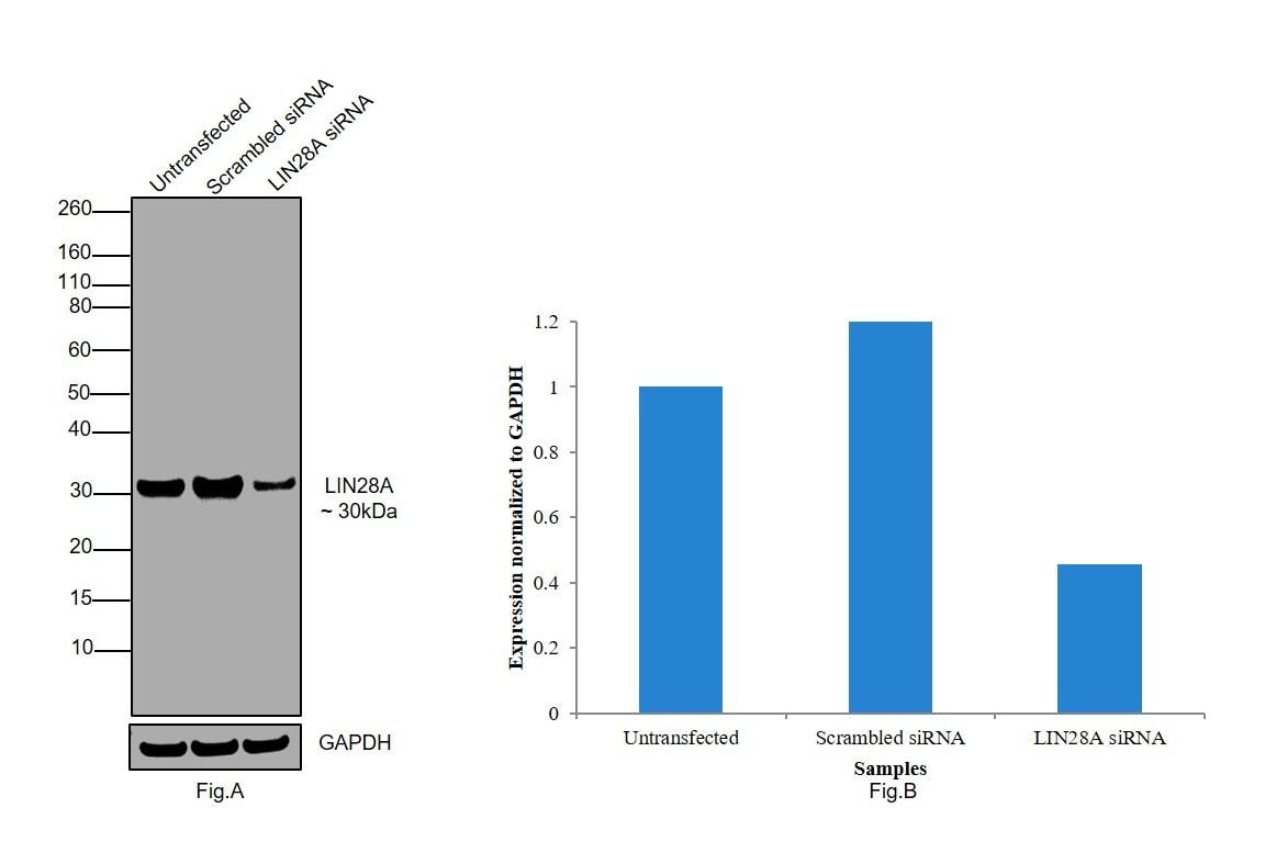 LIN28A Antibody in Knockdown