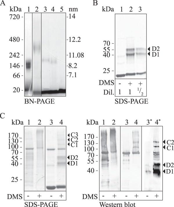 ApoA1 Antibody