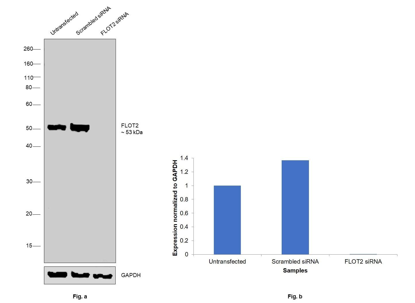 Flotillin 2 Antibody in Western Blot (WB)