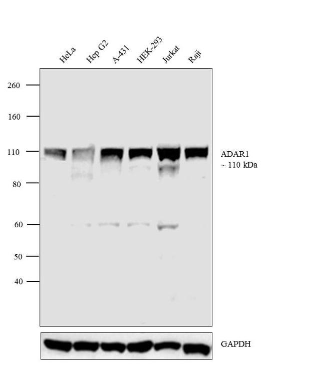 ADAR1 Antibody in Western Blot (WB)