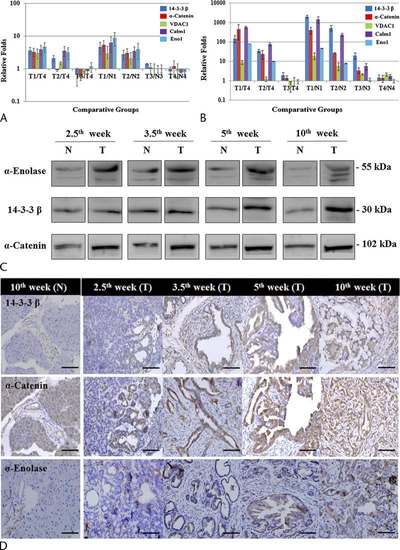 ENO1 Antibody in Western Blot, Immunohistochemistry (WB, IHC)