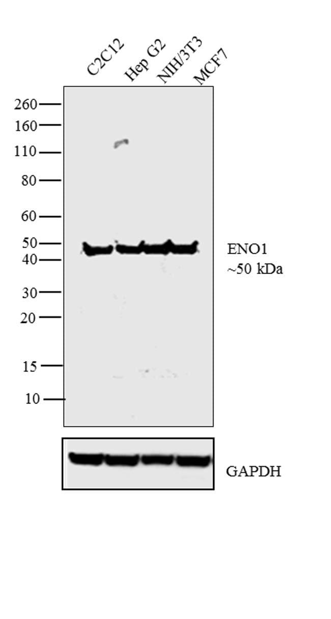 ENO1 Antibody in Western Blot (WB)