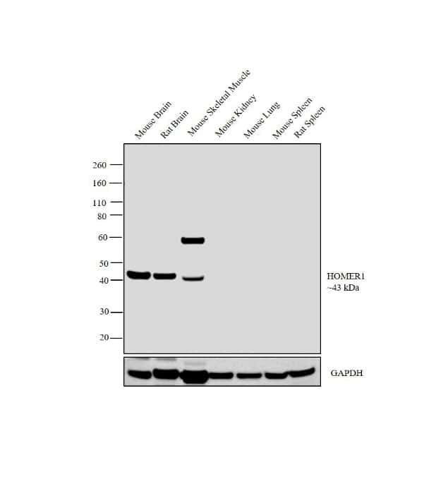 HOMER1 Antibody in Relative expression