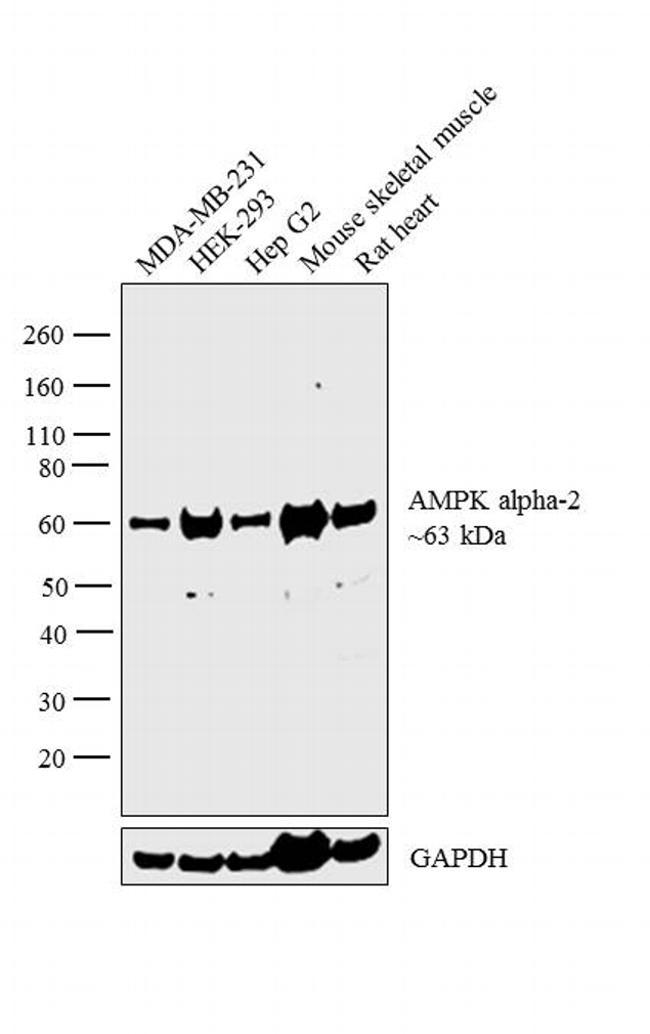 AMPK alpha-2 Antibody in Western Blot (WB)