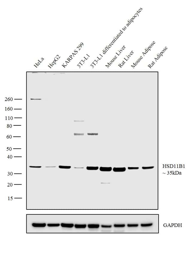 HSD11B1 Antibody in Western Blot (WB)