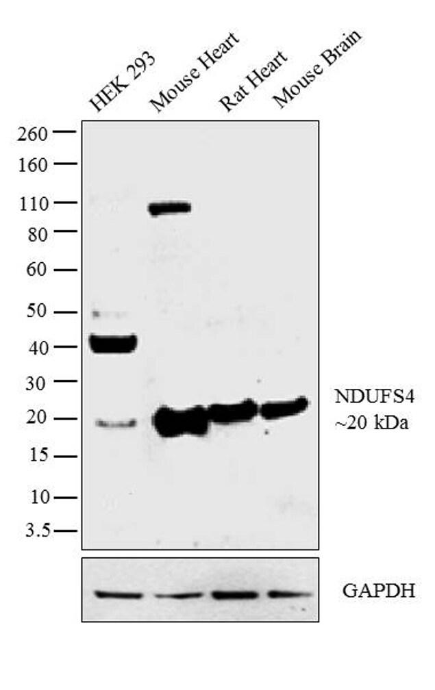 NDUFS4 Antibody in Western Blot (WB)