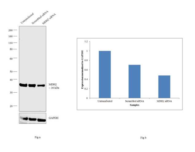 MDH2 Antibody in Knockdown