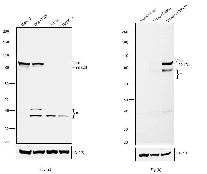 Villin Antibody in Western Blot (WB)