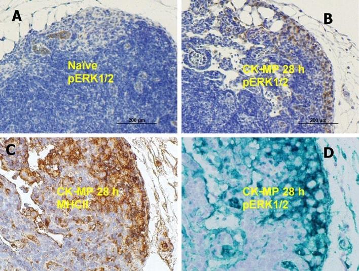 CD74 Antibody