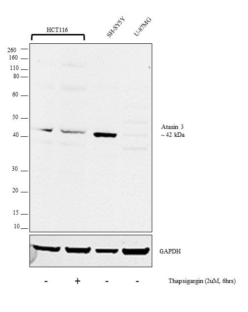 Ataxin 3 Antibody in Cell treatment