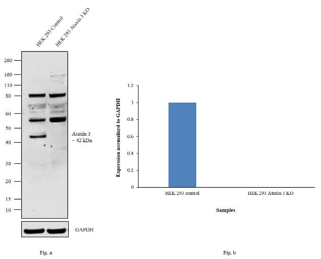 Ataxin 3 Antibody in Knockout
