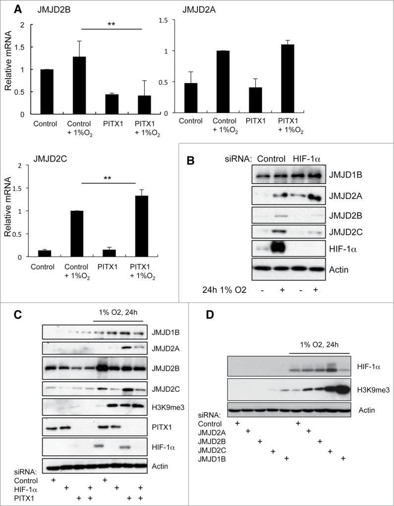 JMJD2C Antibody